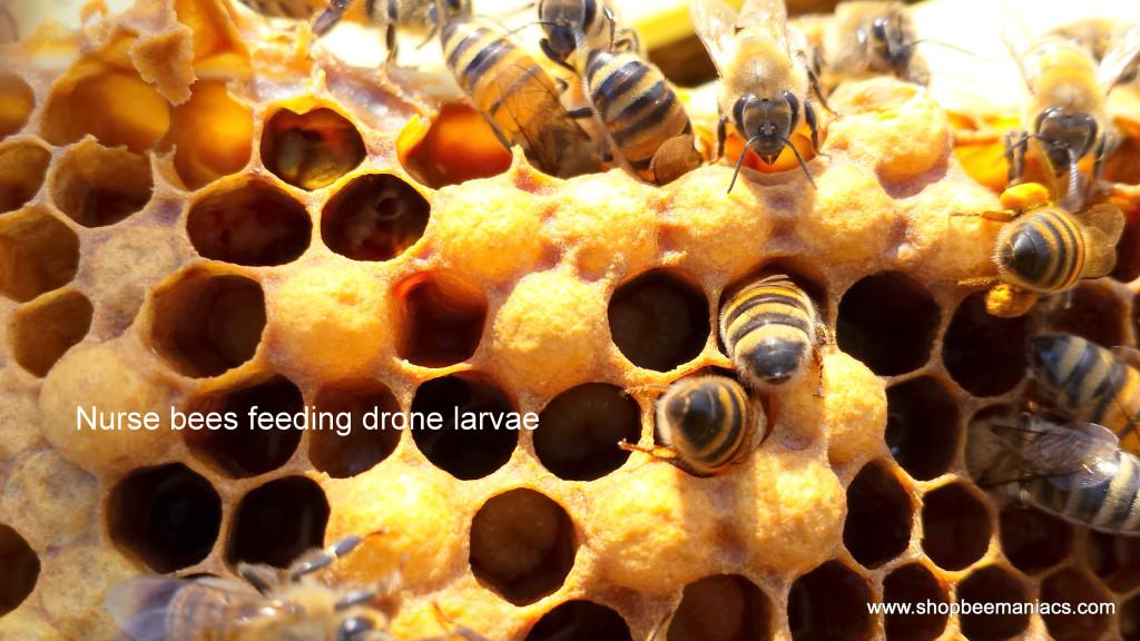 1-nurse bees feeding drone larvae