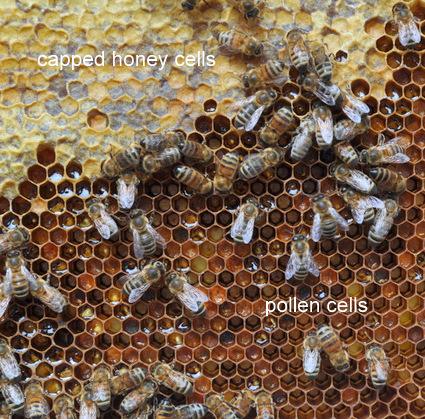 Pollen Cells
