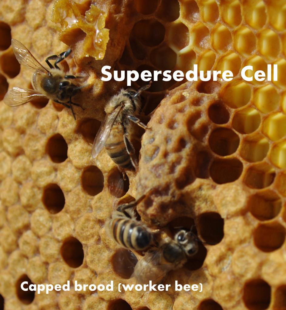 Supersedure Cell