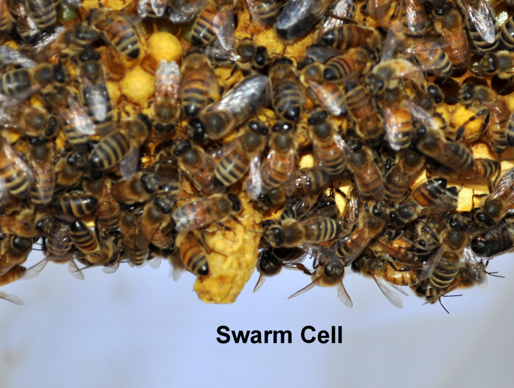 Cells cells and cells beemaniacs swarm cells biocorpaavc