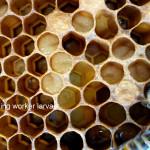 nurse bees feeding worker larvae