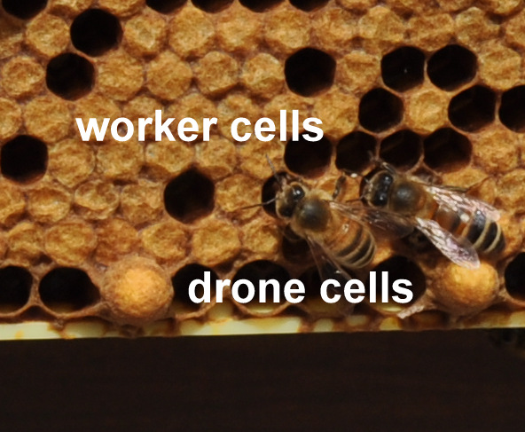 honey bee drone with Cells Cells And Cells on Hoverflies further Why Do Brood  bs Turn Black further Recalling Yeats in addition Retro Vintage Black And White Queen Bee Poster Art Print 1121290 further Varroa mites.